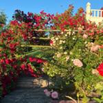 climbing roses in rose garden