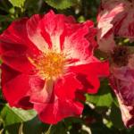 Closeup of rose bloom