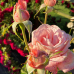 Pretty pink roses in rose garden