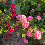 pink and red roses along garden pathway