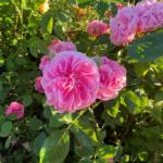 Rose-pink ruffled roses in garden