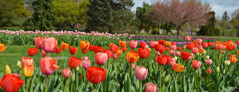 Tulips in bloom at Hershey Gardens