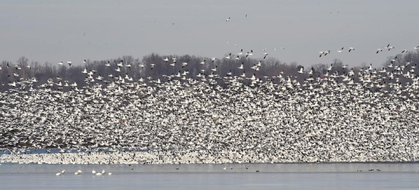 huge flock of snowgeese landing on lake