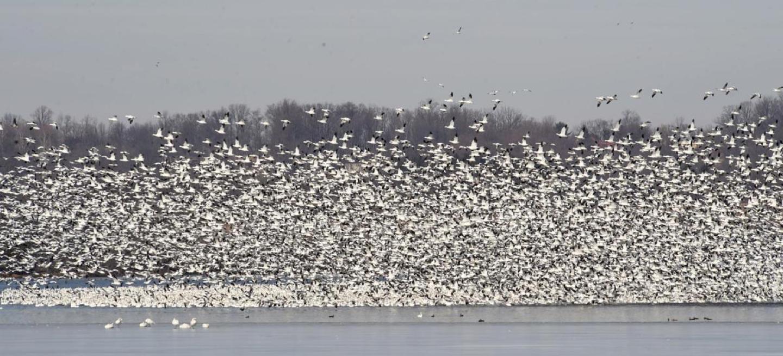huge flock of snowgeese landing on lake