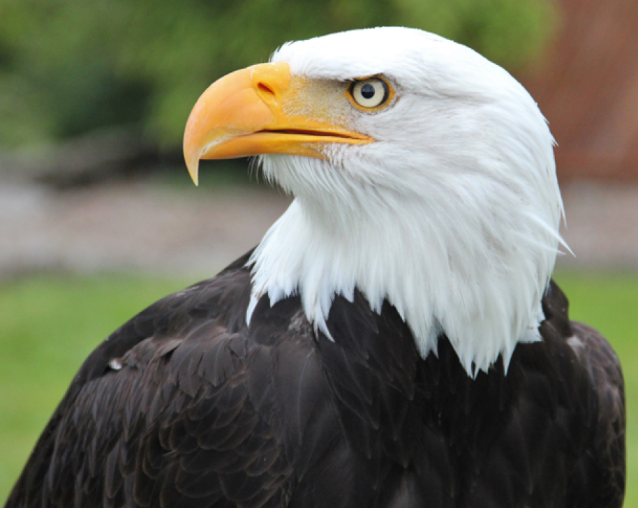 Closeup of a Bald Eagle