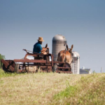 Amish farmer working field with mule drawn implement