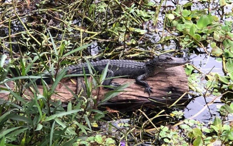 little gator