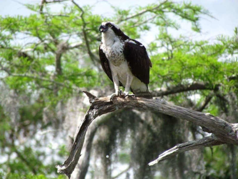 Osprey at Blue Cypress Lake