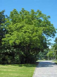 Black Walnut Trees in Tennessee
