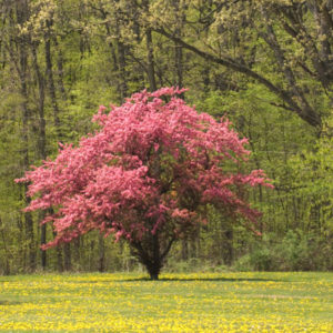 Flowering Dogwood Trees in Tennessee
