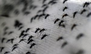 mosquitoed