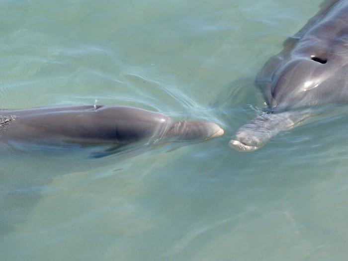 Bottlenose Dolphins Shark Bay Monkey Mia WA