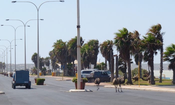 Emus In Main Street Of Denham, Shark Bay Western Australia