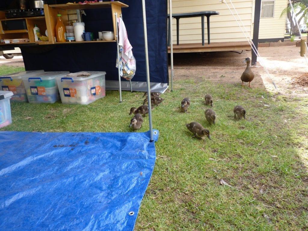 Ducklings Renmark South Australia Murray River