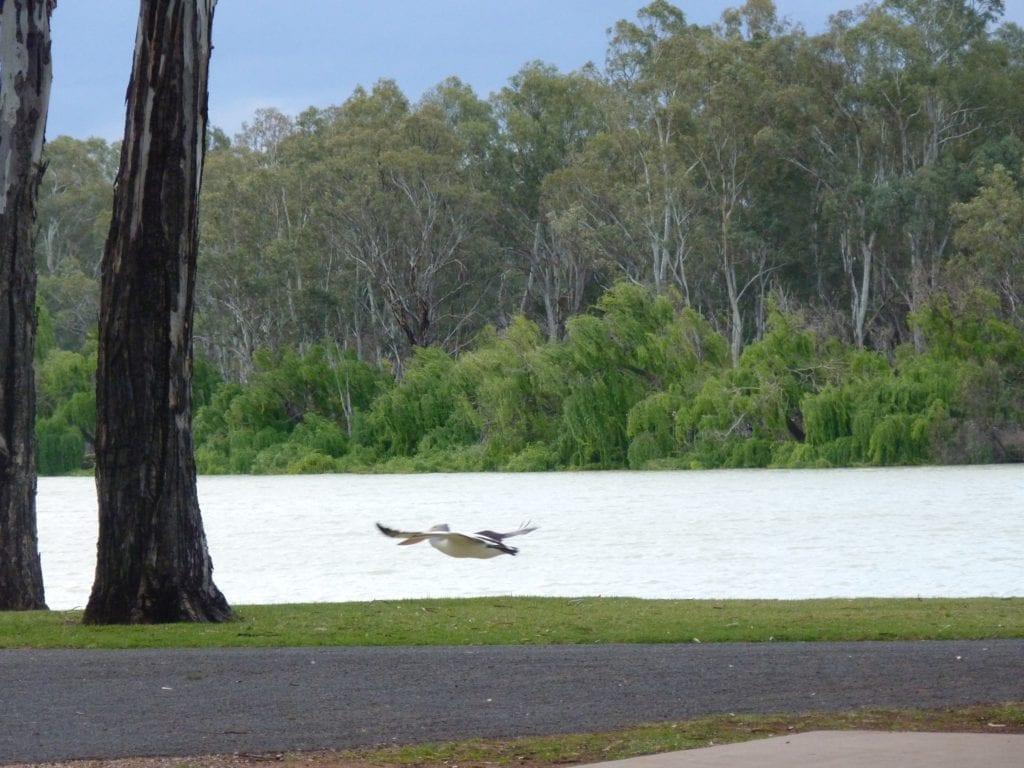 Pelican Murray River Renmark South Australia