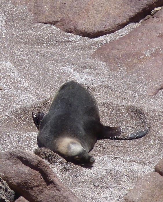 Sea Lion Colony Point Labatt South Australia