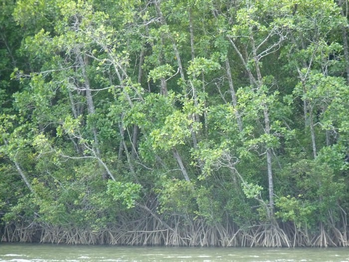 Saltwater Crocodiles- Mangroves, Daintree River, QLD