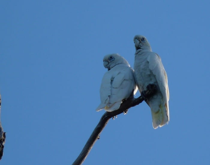 A pair of corellas, Mornington Wilderness Camp.