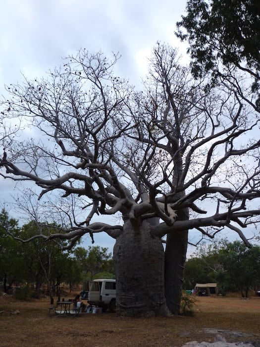 Huge boab tree at Mount Barnett Campground.