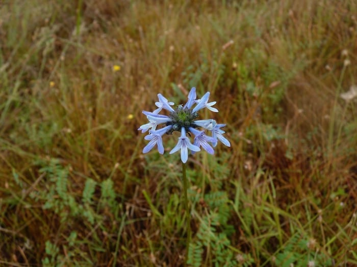 An unusual flower at King Edward River Campground.