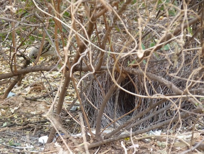 Bower bird's nest. Note the different coloured items around the bower. Bower bird is also there, to the left. Adels Grove.