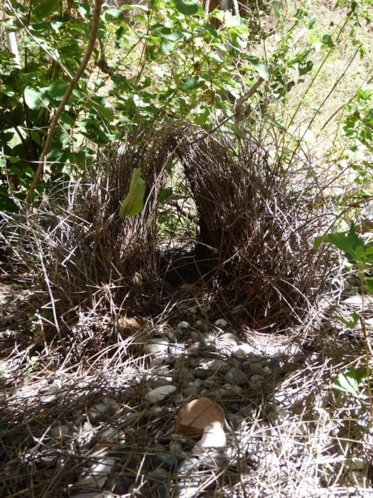 Bower bird's nest. Amongst others things, it had a 2 dollar coin and and a snake skin inside. Echinda Chasm, Bungle Bungles, Purnululu National Park.