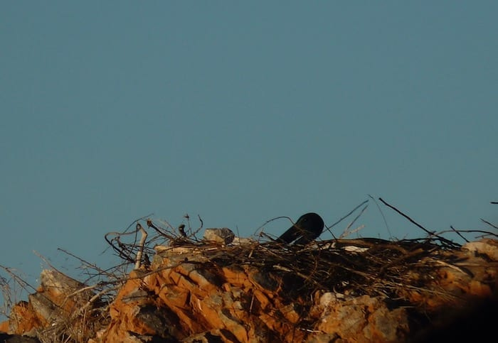 A jabiru nesting among the rocks. Lake Argyle Cruises.