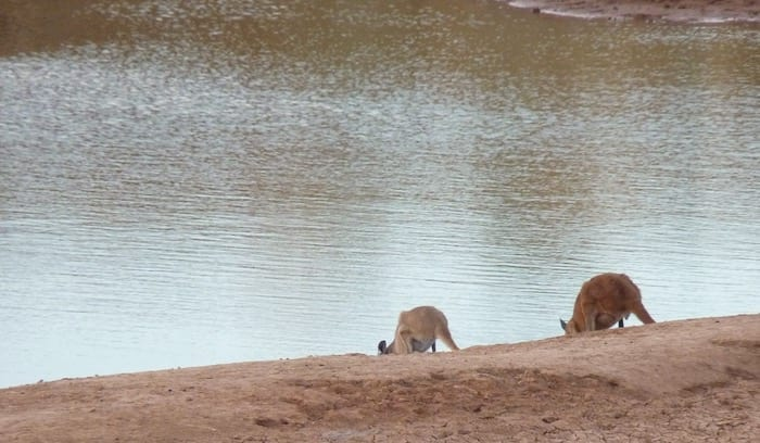 Kangaroos having a late afternoon drink at Niagara Dam. Golden Quest Discovery Trail.