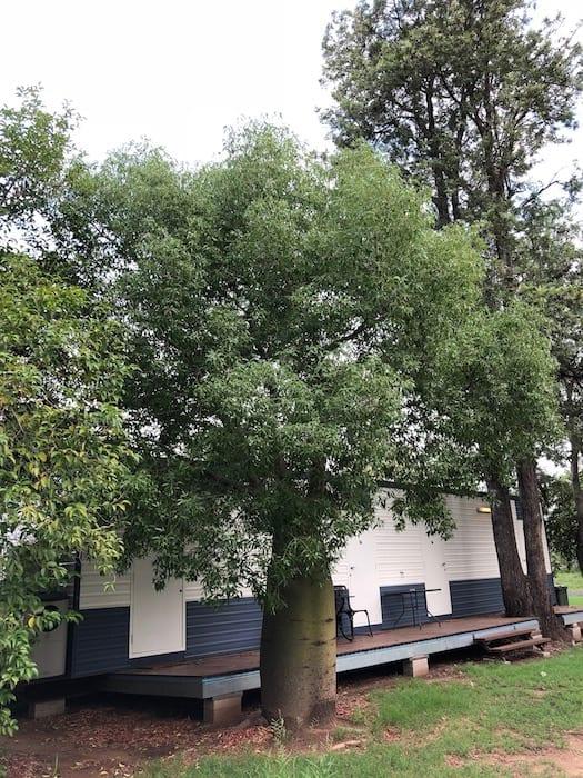 Boab tree at Condamine QLD.