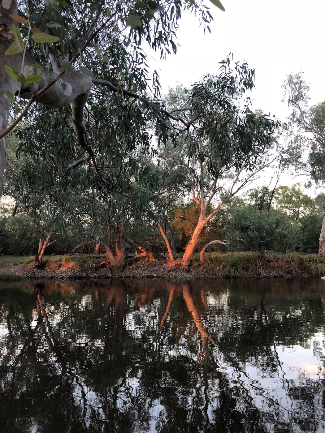 Sunset reflecting off the gums, Bollon QLD.