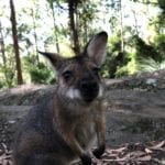 Wallaby checking out the camera. Gap Creek Campground, Watagans National Park.