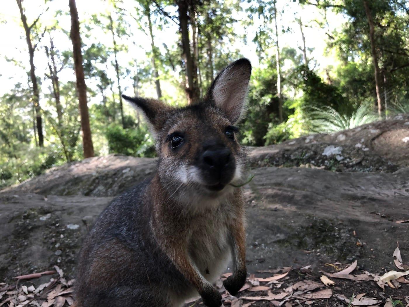 Wallaby checking out the camera. Gap Creek Campground, Watagans National Park.