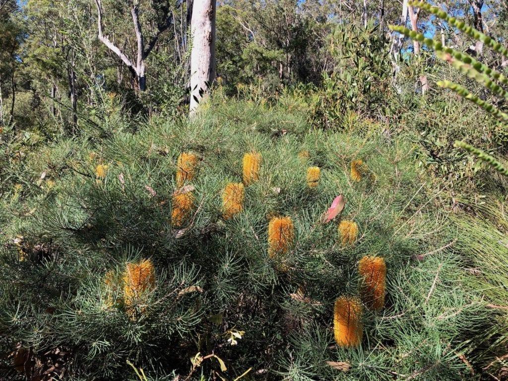 Banksias. Walks In Blackdown Tableland NP.