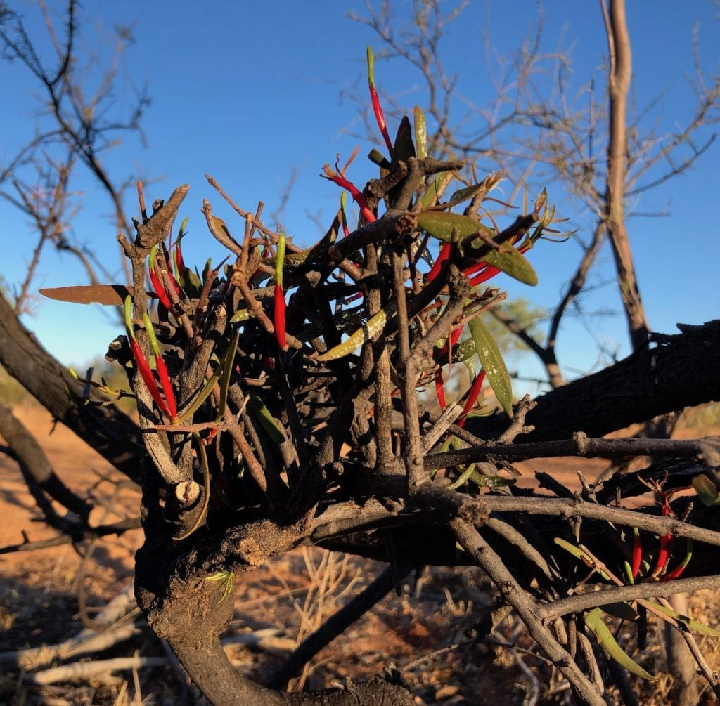 Brighlty coloured mistletoe clings to a spindly shrub. Mt Doreen ruins, Tanami Road.