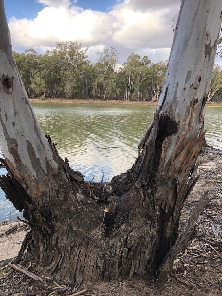 Regrowth over an old red river gum stump. Murray Sunset National Park.