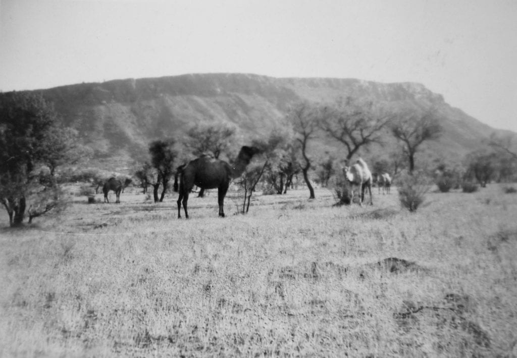 Approaching Alice Springs, 1950. Camels with the MacDonnell Ranges in the distance.Finally, no more sand dunes!
