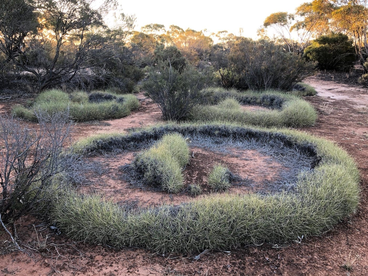 Beautiful spinifex circles near Lake Throssell, Great Central Road.
