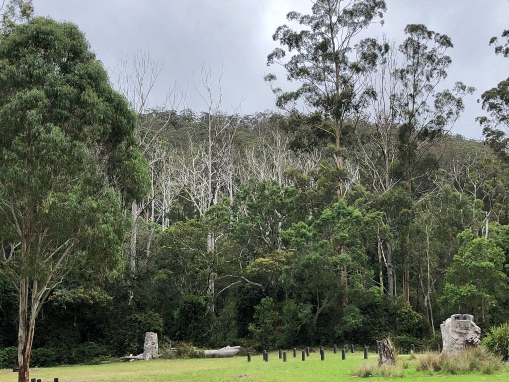 A stand of dead gums behind Manna Gums campground at the Goomburra section of Main Range National Park.