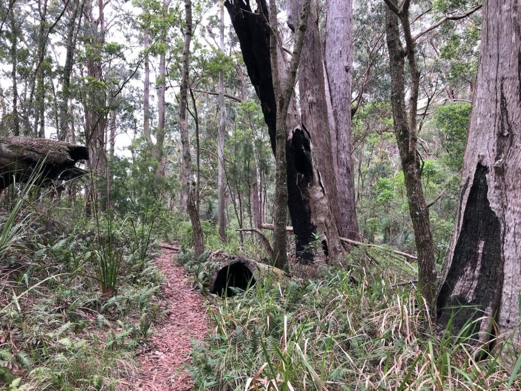 Dry forest gives way to ferns on the Rige Track Walk. Main Range National Park.