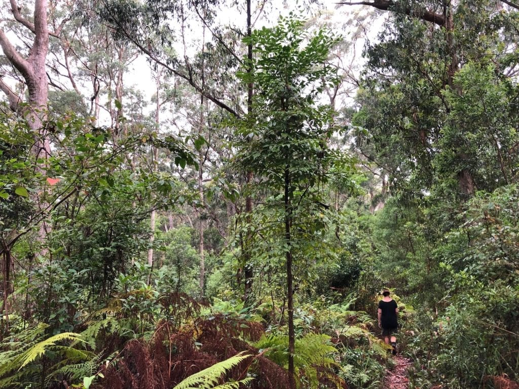 Entering the rainforest canopy on the Ridge Track Walk. Main Range National Park.