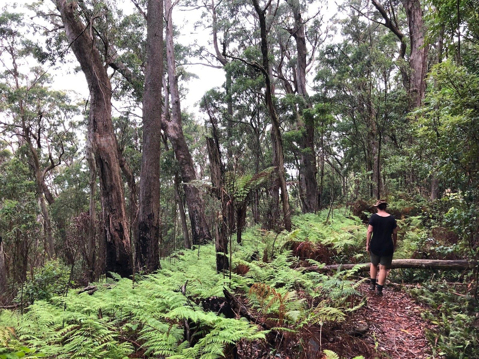 A garden of ferns on the Ridge Track Walk. Main Range National Park.