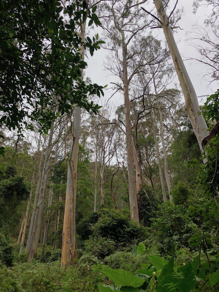 Enormous gum trees at the start of the Cascades rainforest walk.