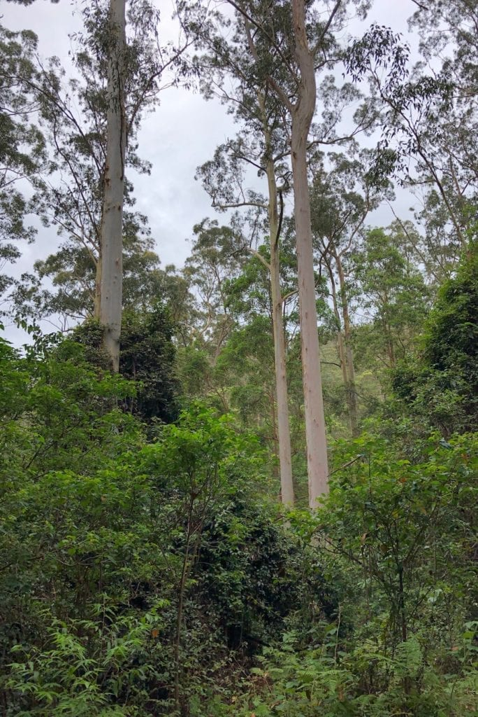 These trees give Manna Gum campground its name.