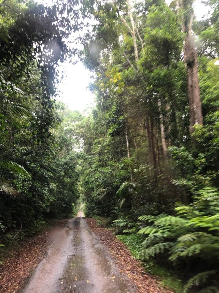 Lookout Road passes through incredibly beautiful Gondwana rainforest. Main Range National Park.