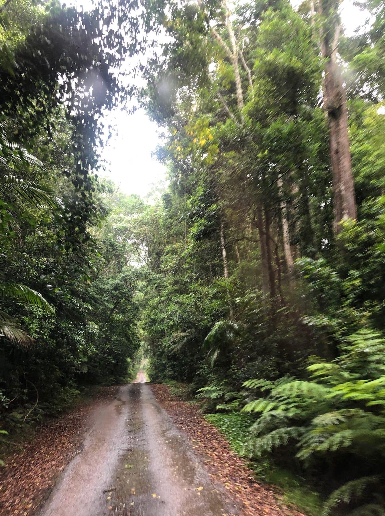 Lookout Road passes through incredibly beautiful Gondwana rainforest. Main Range National Park.