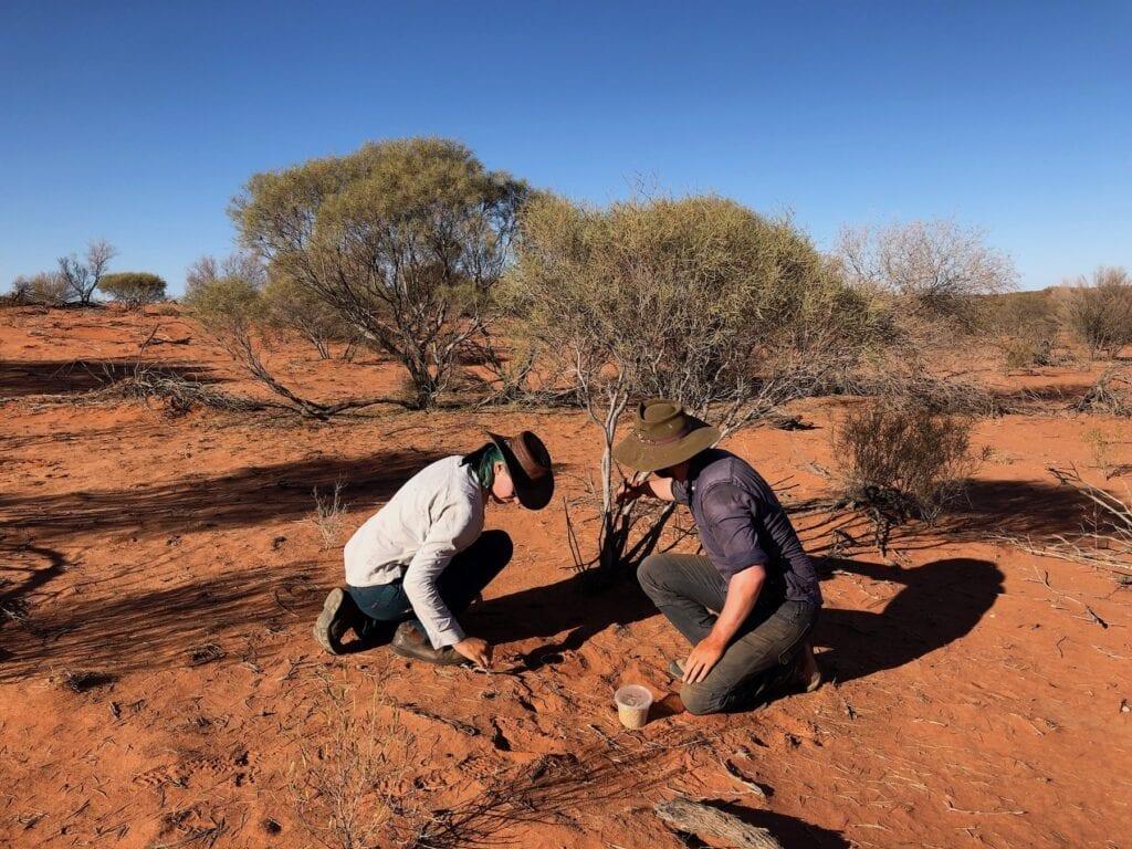 Digging an invertebrate trap.