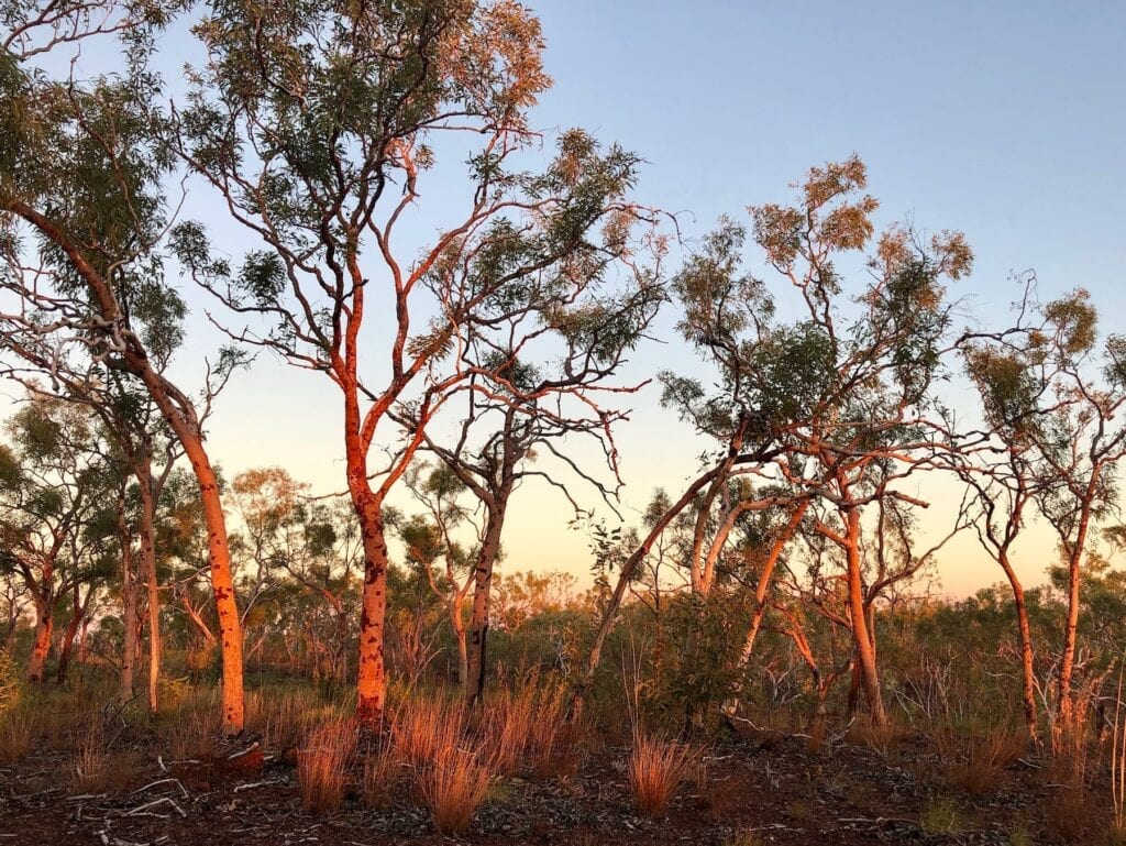 The salmon gums glowed in the late afternoon sunset. Broadarrow Track, Judbarra / Gregory National Park.