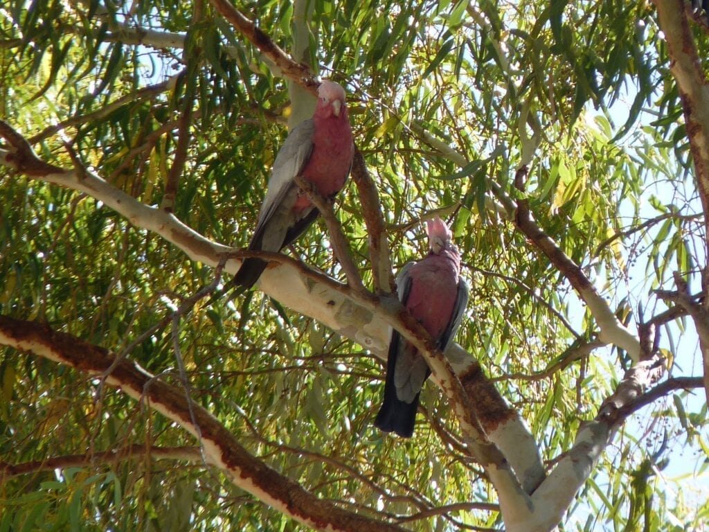 These galahs are resting in the heat of the day. Take their cue and do the same in the Australian Outback.