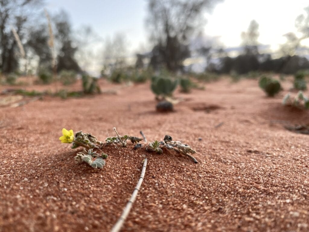 A tiny yellow flower growing in a sand dune, far western NSW. Corner Country NSW.
