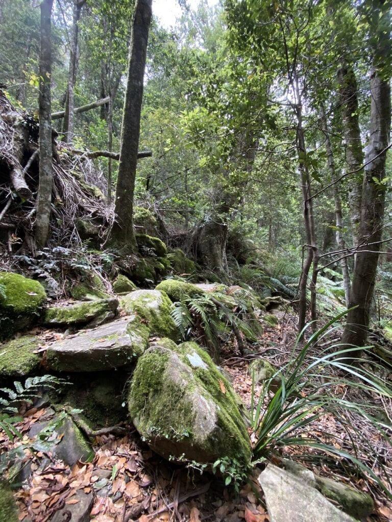 Beautiful ferns and mossy rocks on the Cascades Walking Track, New England National Park, NSW.